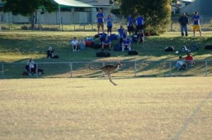 Eastern Grey kangaroo hopping across the football field.